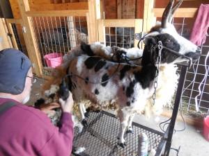 Shearing Day! 080