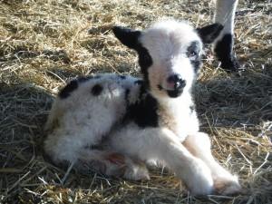 Vera's Ewe lamb 030