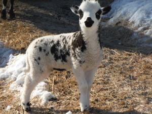 Vera's Ewe lamb 056