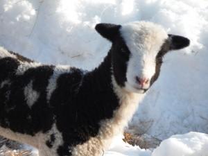 Vera's Ewe lamb 061