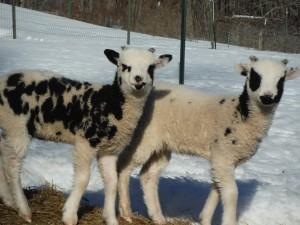 Vera's Ewe lamb 083