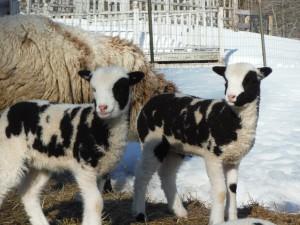 Vera's Ewe lamb 087