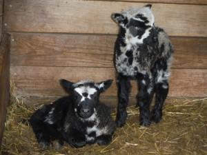 Jacob/Romney ram lambs