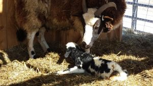 Fine Fettle Marilia (Fine Fettle Mandy x Round Barn Bruno) with her 2017 ewe lamb