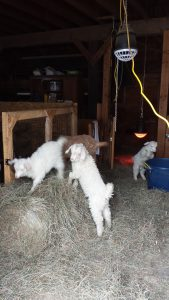 Gracie leaping into a bucket, while the boys destroy a hay bale!