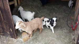 Luna, a jacob lamb, ia a bottle baby and has been hanging out with the goats in their barn.