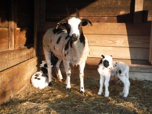 Fine Fettle Eloise (Fine Fettle Isabella x Berger Dierks) and her 2016 lambs