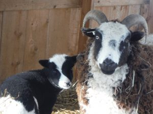 St Peter's Vera and her ewe lamb Catawampus Velvet (by Catawampus Zedd)